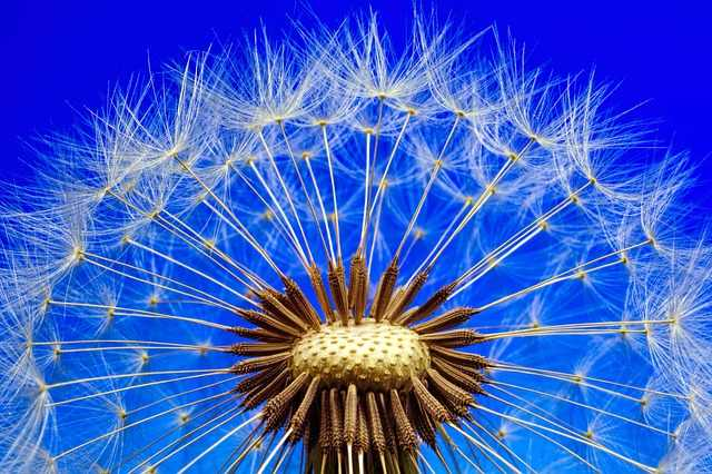 Dandelion is able to help you deal with pain and tenderness in the breasts