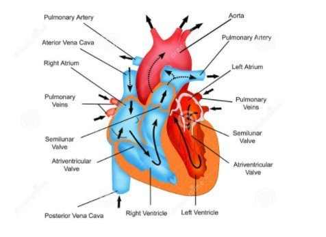 What happens to your heart when experiencing fluttering in chest and throat